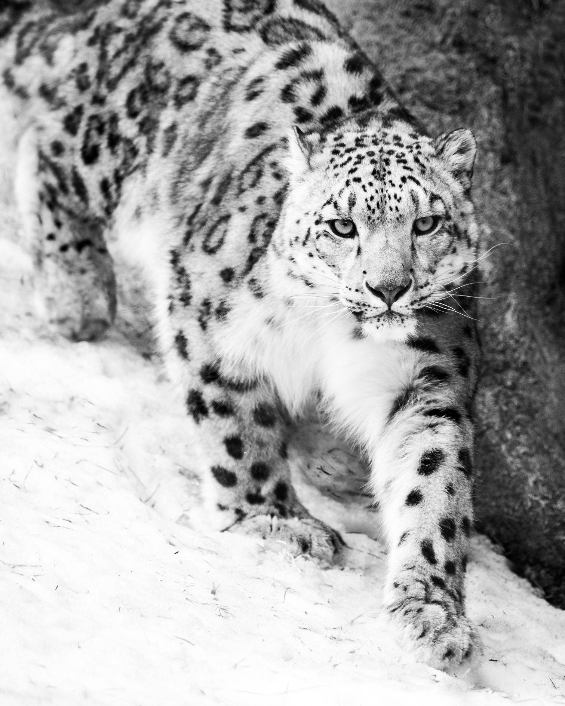 snow leopard creeping in snow
